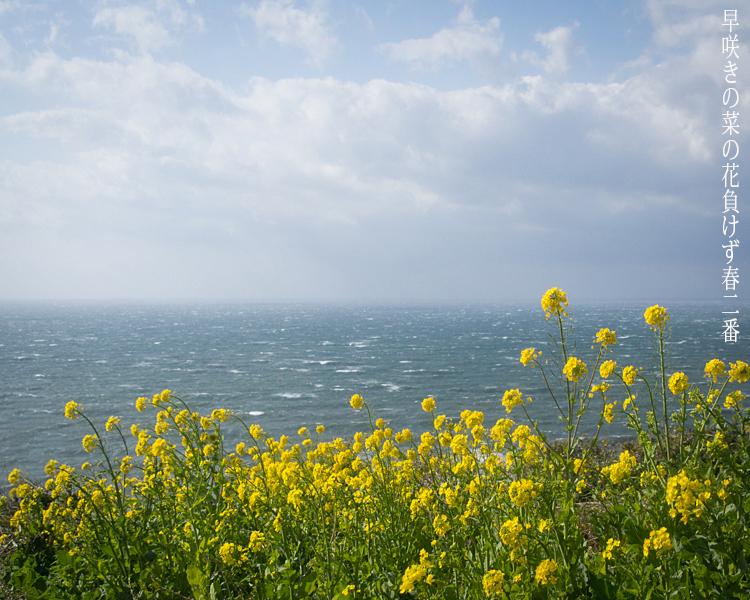 嵐の前の菜の花。_b0022268_08345947.jpg
