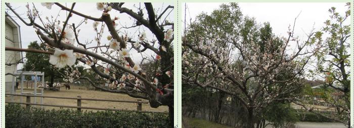 野間馬ハイランドの遅咲き河津桜と梅の花と園内散策…2017/2/22_f0231709_1952360.png