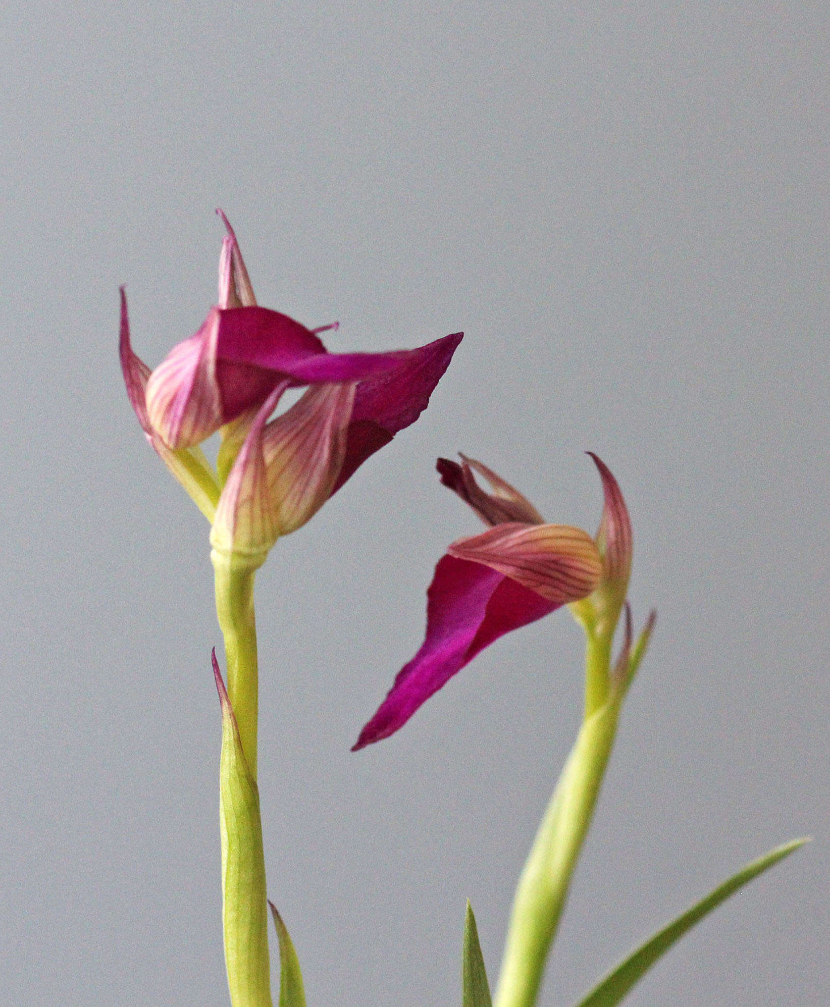 Orchiserapias capitata 'Lady Samantha'_d0007501_09125305.jpg