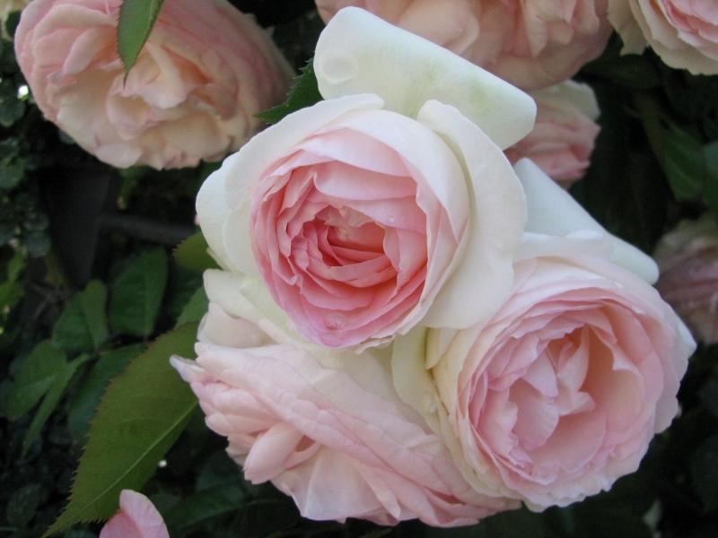 薔薇の月曜日 * Al lunedì delle rose_f0374041_09244531.jpg