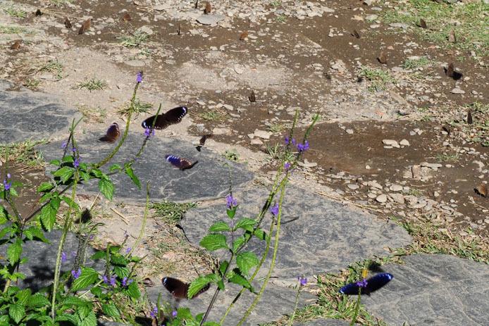 茂林生態園に集まるルリマダラ                  台湾高雄・茂林国家風景区_d0149245_17095240.jpg