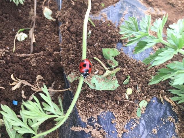 雑草とりが間に合わず やっと人参に畝が姿を現しました・・。Hさんありがとうございます_c0222448_18364689.jpg