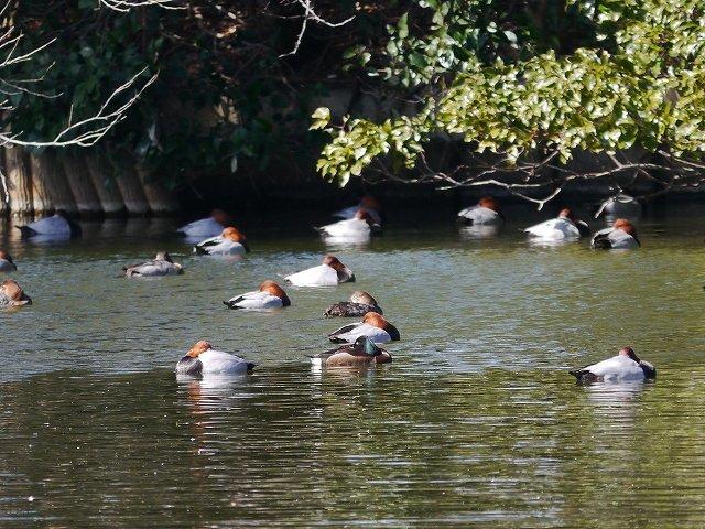 超珍鳥アカハジロは国際絶滅危惧種 (初見)_d0088184_22312407.jpg