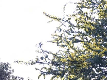 Mimosaと春の緑茶_f0038600_22525683.jpg