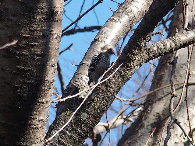 青葉の森公園の梅 (2017/2/19)_b0006870_20105245.jpg