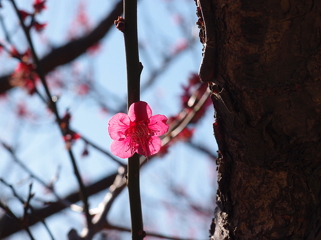 青葉の森公園の梅 (2017/2/19)_b0006870_2083395.jpg