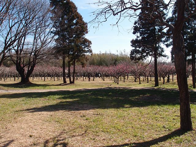 青葉の森公園の梅 (2017/2/19)_b0006870_208730.jpg