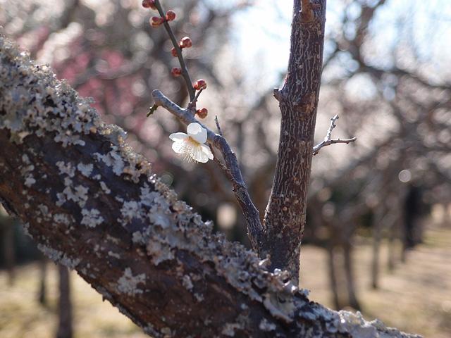 青葉の森公園の梅 (2017/2/19)_b0006870_2093595.jpg