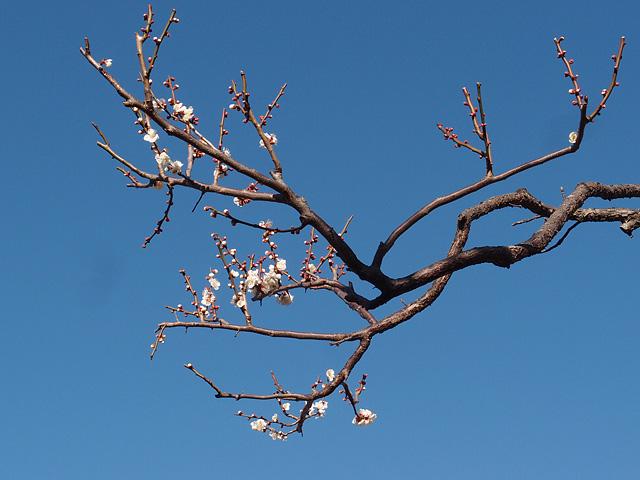 青葉の森公園の梅 (2017/2/19)_b0006870_2095485.jpg