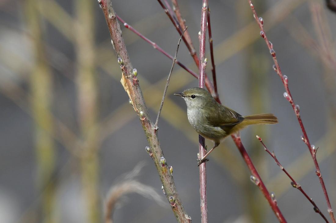 河原の鳥さん ウグイス ベニマシコ カワセミ_f0053272_23302001.jpg