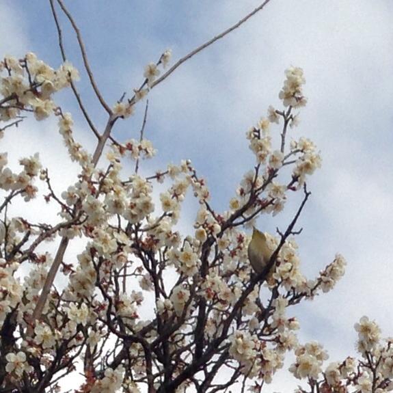 梅の季節です_b0087077_09571660.jpg
