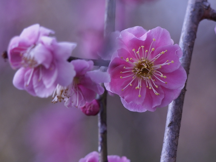 梅林寺の梅の花_a0149488_17241395.jpg