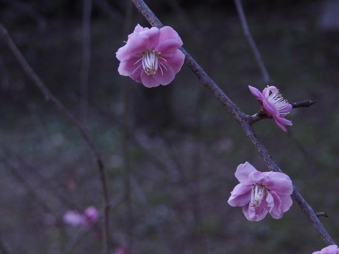 梅林寺の梅の花_a0149488_1724319.jpg