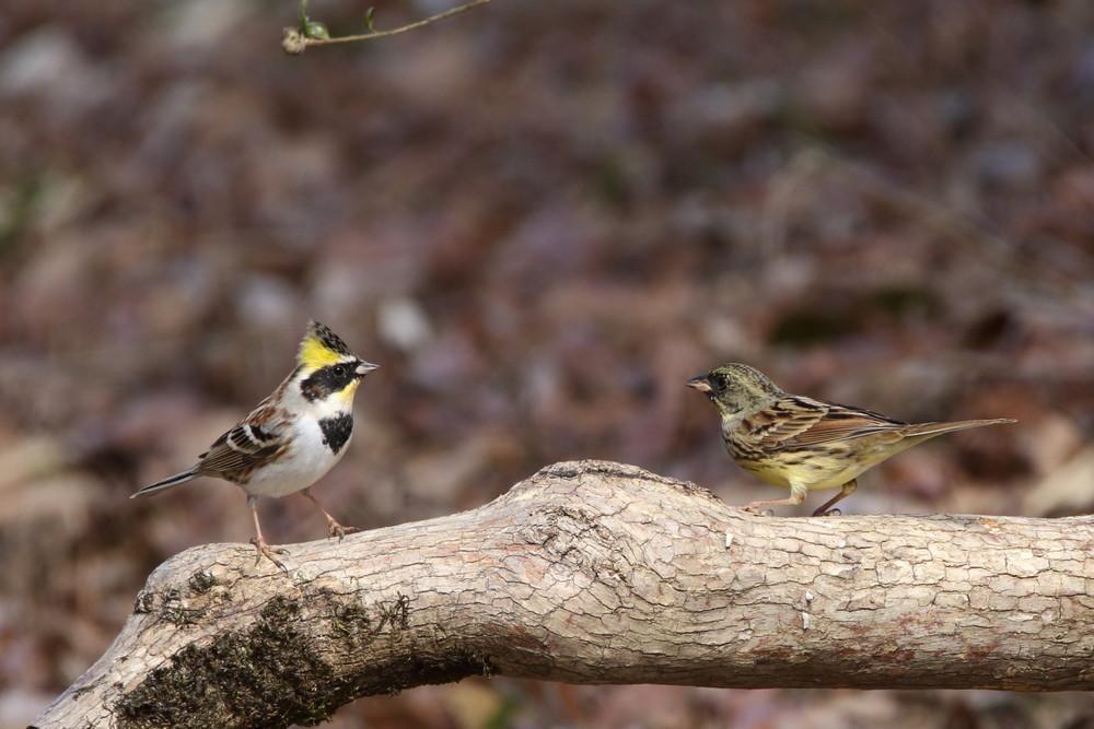 今日の鳥見(2017年2月25日)_f0235311_00150145.jpg