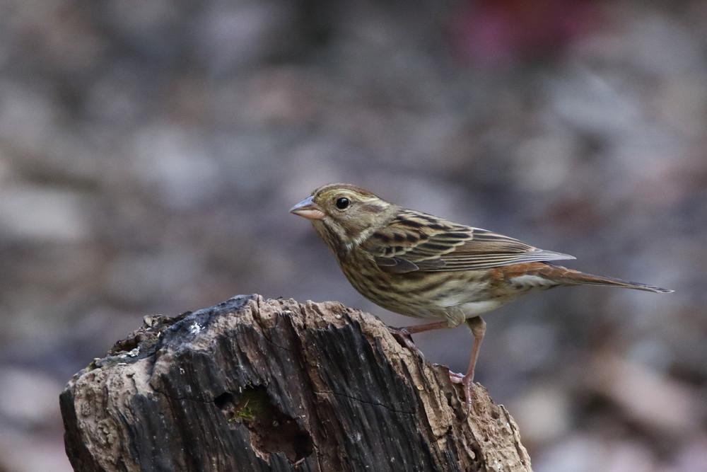 今日の鳥見(2017年2月25日)_f0235311_00201651.jpg