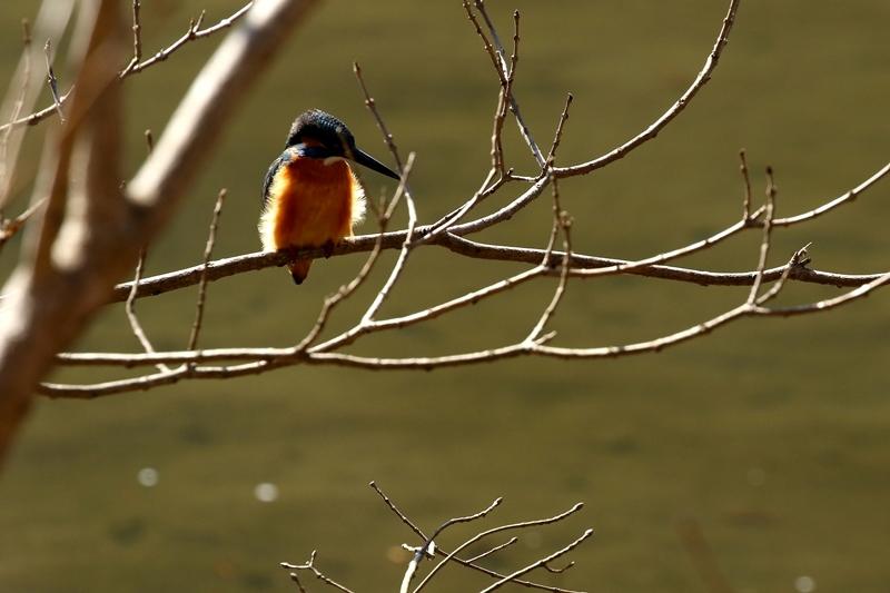 鳥を撮ってみる_e0364223_17131553.jpg