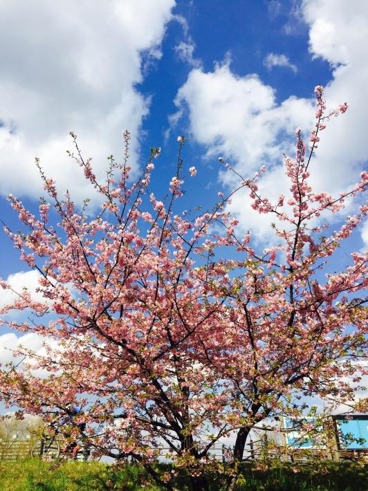早咲きの桜_a0103940_12111698.jpg