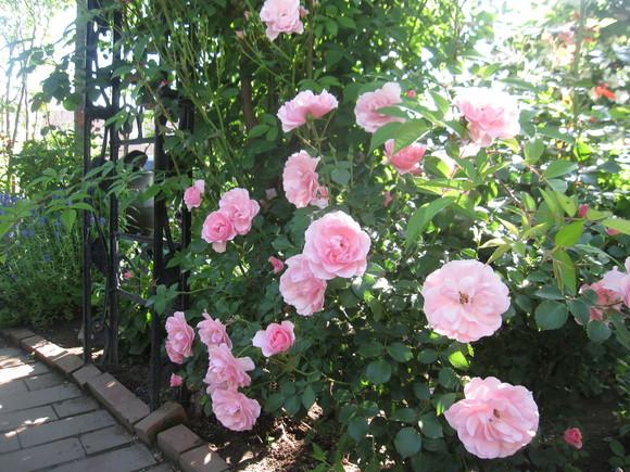 お庭が薔薇で綺麗になってきた~_a0279743_19124552.jpg