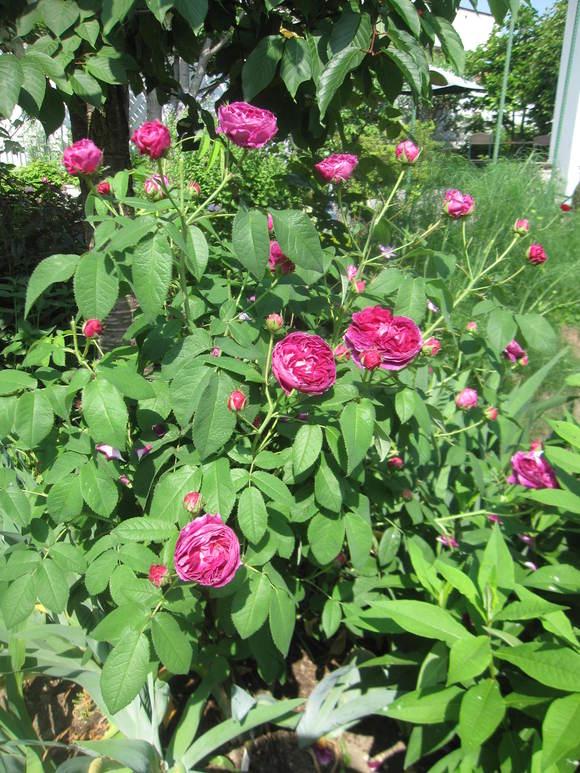 お庭が薔薇で綺麗になってきた~_a0279743_1928161.jpg
