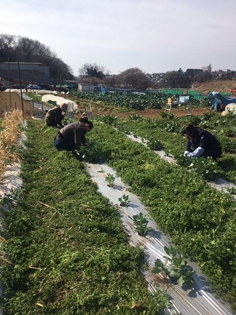 今朝は 蚕豆のネットを外し 雑草取り 通路草刈り エンドウ豆の櫓建て開始します_c0222448_14325100.jpg