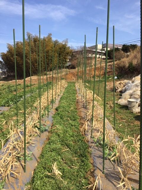 今朝は 蚕豆のネットを外し 雑草取り 通路草刈り エンドウ豆の櫓建て開始します_c0222448_14351968.jpg