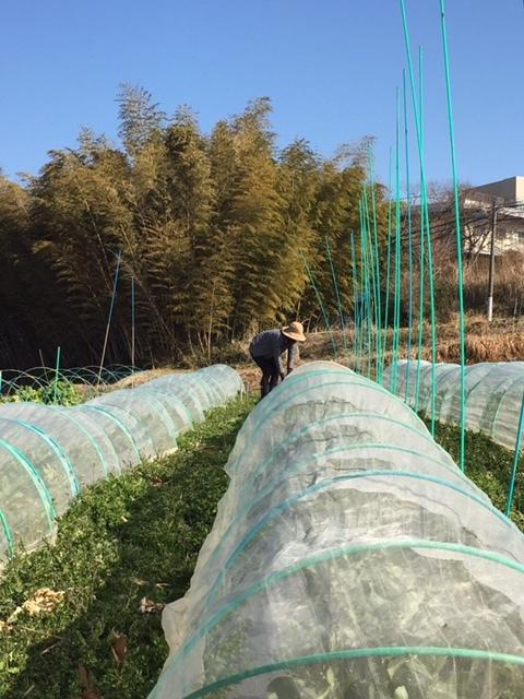 今朝は 蚕豆のネットを外し 雑草取り 通路草刈り エンドウ豆の櫓建て開始します_c0222448_14382088.jpg