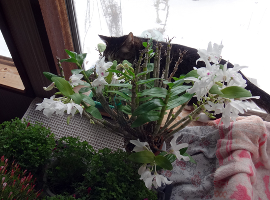 猫部屋のデンドロさん♪_a0136293_19105959.jpg