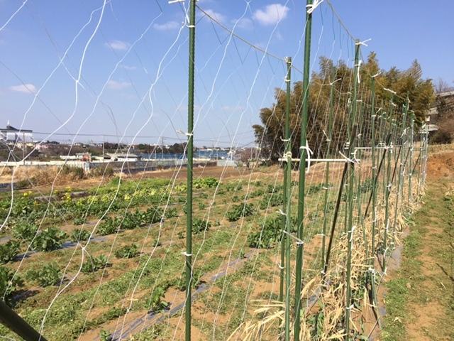 エンドウ豆の櫓作り&ネット張り中 じゃがいもの畝作りです_c0222448_16051382.jpg