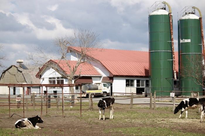【マザー牧場】牛と菜の花_f0348831_17255117.jpg