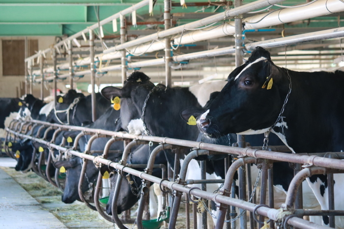 【マザー牧場】牛と菜の花_f0348831_17260427.jpg