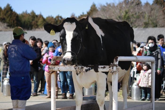 【マザー牧場】牛と菜の花_f0348831_17260981.jpg