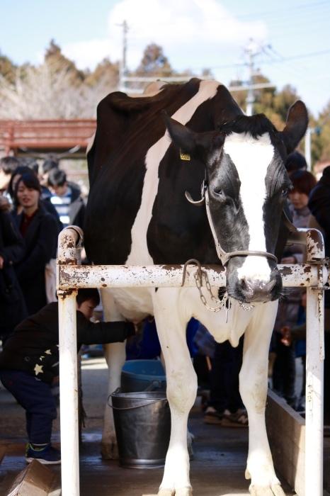 【マザー牧場】牛と菜の花_f0348831_17261698.jpg