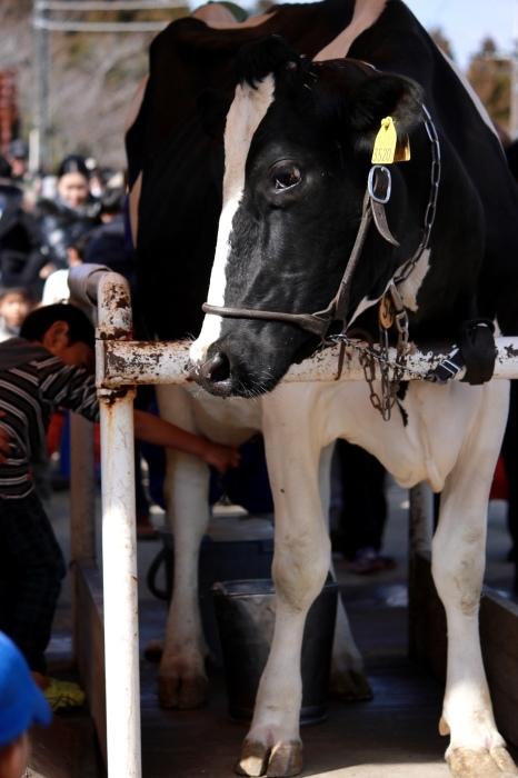【マザー牧場】牛と菜の花_f0348831_17261729.jpg
