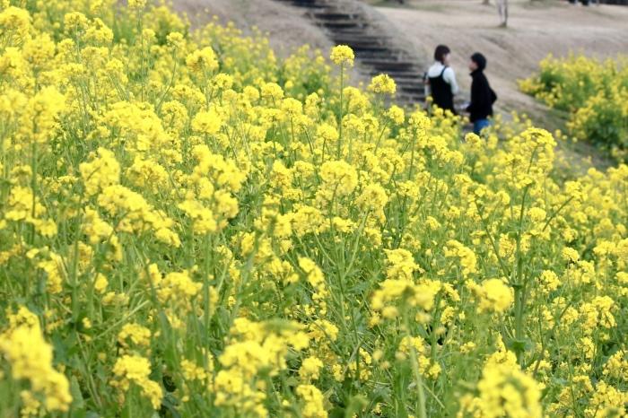 【マザー牧場】牛と菜の花_f0348831_17262538.jpg