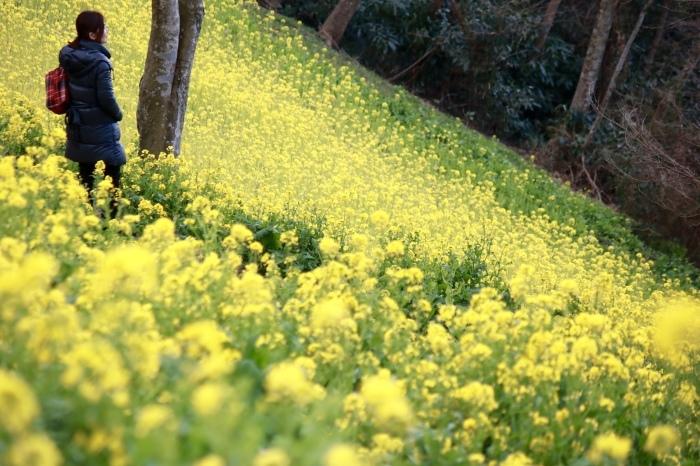 【マザー牧場】牛と菜の花_f0348831_17262719.jpg
