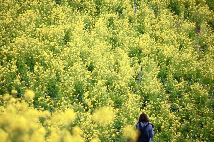 【マザー牧場】牛と菜の花_f0348831_17263427.jpg