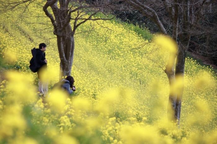 【マザー牧場】牛と菜の花_f0348831_17263761.jpg
