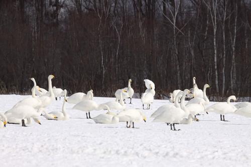白鳥の湖  3月1日_f0113639_1932372.jpg