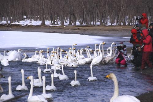 白鳥の湖  3月1日_f0113639_193792.jpg