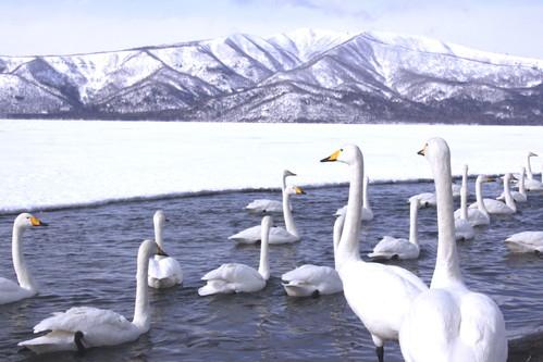 白鳥の湖  3月1日_f0113639_1965532.jpg