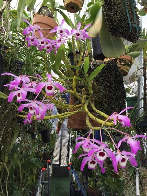 温室で出迎えてくれた;Den.nobile \'Cooksoniae\'_d0007501_11341219.jpg