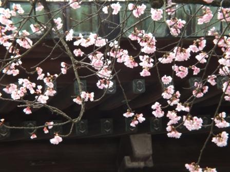 宮地嶽神社の夫婦緋寒桜_b0214473_20334260.jpg