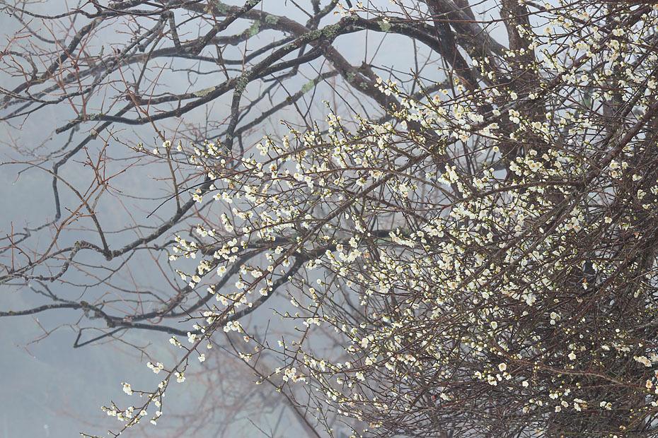 霧に咲く白梅_c0067040_22462066.jpg