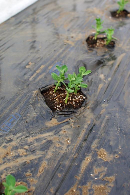 今季初の肥料撒き。スナップエンドウを植える。_c0110869_6241581.jpg