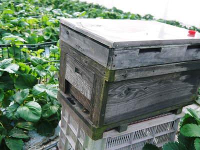 熊本イチゴ『熊紅(ゆうべに)』 美味しさと安全にこだわる朝採りの新鮮イチゴをお届けします!_a0254656_18262545.jpg