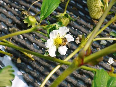 熊本イチゴ『熊紅(ゆうべに)』 美味しさと安全にこだわる朝採りの新鮮イチゴをお届けします!_a0254656_18313751.jpg