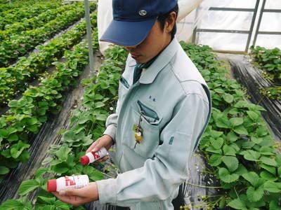熊本イチゴ『熊紅(ゆうべに)』 美味しさと安全にこだわる朝採りの新鮮イチゴをお届けします!_a0254656_18371159.jpg