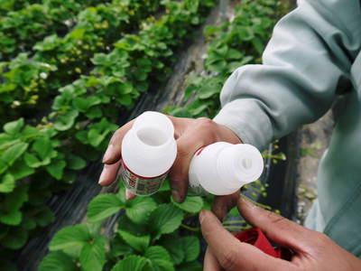 熊本イチゴ『熊紅(ゆうべに)』 美味しさと安全にこだわる朝採りの新鮮イチゴをお届けします!_a0254656_18403785.jpg