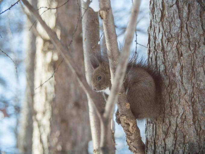雪のち晴れ・・木の枝で毛づくろいのエゾリス君_f0276498_14333780.jpg