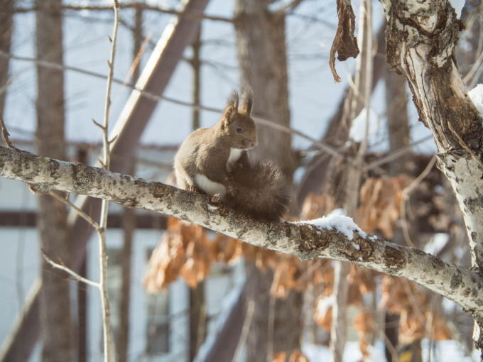雪のち晴れ・・木の枝で毛づくろいのエゾリス君_f0276498_14340994.jpg
